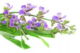 Sage - Medicinal velvet caress