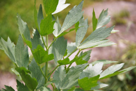 Lovage - medicinal plant maggi