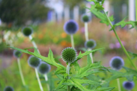 Milk thistle - the best herb for our liver