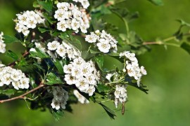 Hawthorn treat heart problems and high blood pressure