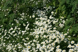 Chamomile - herbal classic