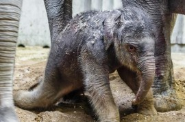 The first calf at Prague Zoo is a female