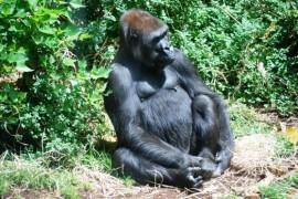 Republic of Congo declared a national park for 15,000 gorillas