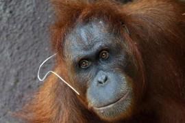 In Prague Zoo born baby orangutan
