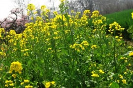 First green plants wears death - poisoning oilseed die hundreds Germany