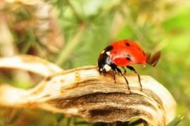 Biological weapon that is out. Ladybird Eastern mowed down opponents devastating parasite