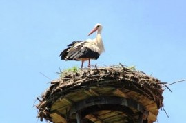 Black storks suffer from the weather: fewer babies, many unsuccessful nesting