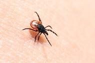 Tick-borne disease: an unwanted holiday souvenir?