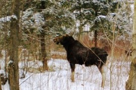 The majestic moose disappearing from the Czech countryside