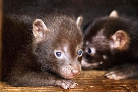Prague Zoo has bred dogs after ten years of forest