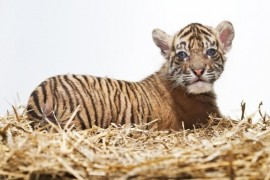 In the Prague Zoo was born critically endangered tiger