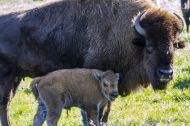 Guardians bought the first herd of bison for Czech Republic