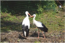 Bird of the Year 2014, the black stork and white stork