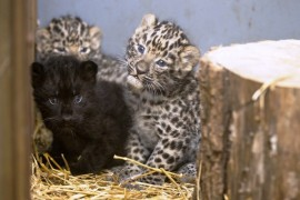 Prague Zoo rejoices leopard triplets