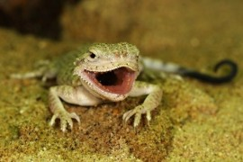 Prague Zoo has bred two rare desert reptiles