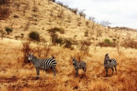 The longest migration route in Africa measures 500 km. Each year shall give the Plains Zebra