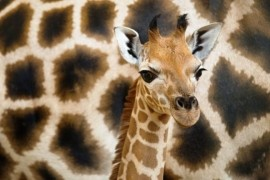 Prague Zoo: Giraffe began a month
