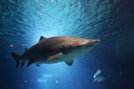 Sharks in acidic seas lose their ability to sense prey