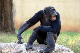 Violence among chimpanzees