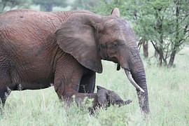 The study warns: When discharged elephants die off and some tropical trees