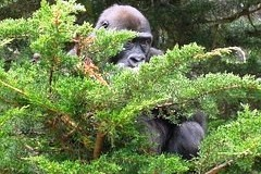 Prague zoo this year contributed 11 thousand old mobile phones to protect gorillas