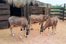 Rare oryx Damián traveled to Africa