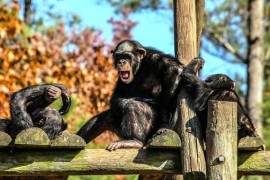 Domestic violence is common in chimpanzees