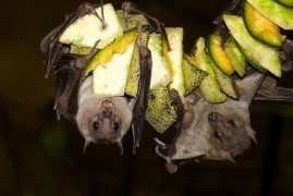 Bats use when hunting bag of chips effect