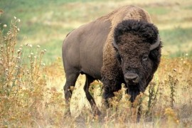 Bison belong to the woods, prefer open country, says paleontologist