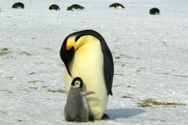 Penguins feels just salty and sour taste. For scientists, it is an evolutionary puzzle