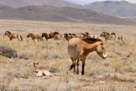 Prague's oldest mare gave birth in Mongolia its tenth foal