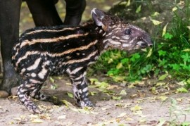 Prague Zoo: Tapir Born. Neither the old Tawny let shame.