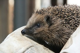 KRNAP: Hedgehogs have since returned to the wild