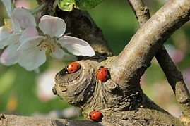 Ladybugs do not lie about their toxicity