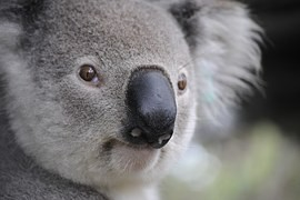 Scientists have studied courtship koala teddy bears. Instead fights get by with a guttural call