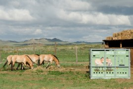 Return wild horses: Another four mares reached as to Mongolia