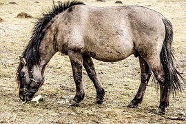 Tarpan was a wild horse. Just rogue or wry show research abroad