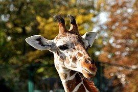 ZOO Liberec: New born female Rothschild giraffe has a name Anastasia