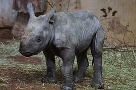 According to Danish researchers already in Malaysia is not a wild Sumatran rhino