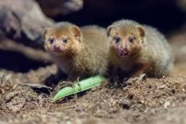 Prague Zoo: New couple Mangust dwarf has a first chicks