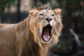 Prague Zoo: Coming rare lions Indian