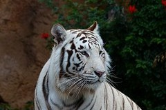 Breeding of white tigers: it is the money from ticket sales, not about saving endangered species
