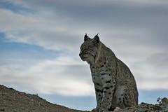 Lynx - European tiger