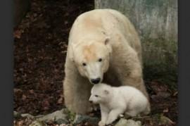 Brno Zoo: polar bear Cora showed her cub