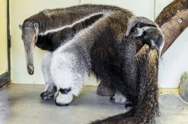 Prague Zoo was born first anteater!