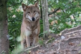 The wolf appears in Sumava, it fotopasti captured a large part of its territory