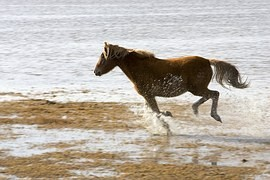 Rare as a panda. Exmoorských wild horses are the world's only two thousand