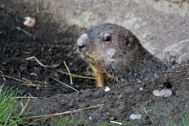 Marmots in the Prague zoo predict Spring