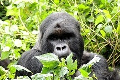 Eastern gorillas are disappearing fast. Due to civil wars and mining for coltan