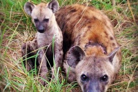 Twenty years of research of spotted hyenas: Mamánci are better off